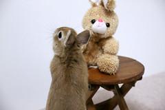 Ichigo san 301  (mensore) Tags: brown bunny cute ichigo netherlanddwarf pet rabbit