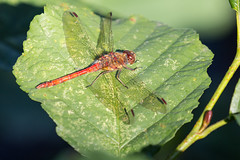 0J9A9069 (wearedave) Tags: brandonmarsh dragonfly