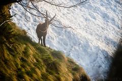 Risveglio con gli stambecchi #40 ( YariGhidone ) Tags: wild mountains animals rock goat rosso 70200 corna d4 stambecchi rockgoat mntagna