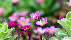 DSC_3898 (Roelofs fotografie) Tags: flowers flower holland color nature dutch happy cozy spring nikon nederland natuur bloemen wilfred gezellig bloem kleur kleuren vrolijk voorjaar neterlands d3200 roelofs