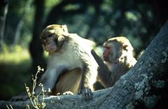 (Christian Bachellier) Tags: monkey nikon bhaktapur singe népal