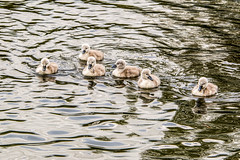 Cygnets Stray a little from mum. (wolf 10) Tags: birds outdoor swans waterfowl youngbirds