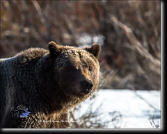 Bernie Bear Portrait, a Grand Teton Grizzly (Daryl L. Hunter - Hole Picture Photo Safaris) Tags: usa closeup danger unitedstates wildlife wyoming jacksonhole grizzlybear grandtetonnationalpark foraging berniebear