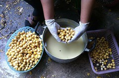 การเพาะเมล็ดผักหวานป่า