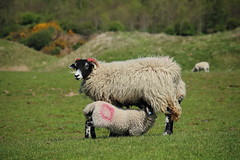Sheep feeding her lamb (The_angler's_angle) Tags: dog chicken dogs field grass walking sheep walk lambs fell cockerel cockfield cockfieldfell