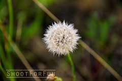 _ROO2385 (Shootforfun Photography) Tags: plant flower garden photography weeds weed fluff dandelion dandilion makeawish