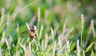 Grass bee