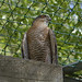 Sparrowhawk-7