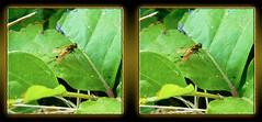 Chrysopilus Ornatus, Male Ornate Snipe Fly 8 - Cross-eye 3D (DarkOnus) Tags: macro male closeup insect lumix fly stereogram 3d crosseye day pennsylvania stereo ornate friday stereography buckscounty diptera snipe crossview ornatus chrysopilus hfdf flydayfriday dmcfz35