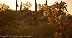 IK2A9951 copysmall (azphotomom37) Tags: boxcanyon florence arizona desert cacti cactus cholla saguaro canon kgibsonphotography outdoors landscape