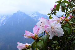 Rhododendrons in The Wild (pallab seth) Tags: nikoncoolpixp3 shingbarhododendronsanctuary yumthangvalley northsikkim india blossom spring mist glory nature wildlife asia flower wild variety species pink digital himalayas iucncategoryiinationalpark