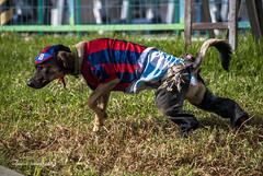 Cachorro Lukeado (guspaulino1) Tags: argentina buenosaires can cachorro disfraz perros laboca mascotas