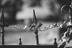 (Gret B.) Tags: blackandwhite friedhof fence zaun efeu schwarzweis friedhofszaun