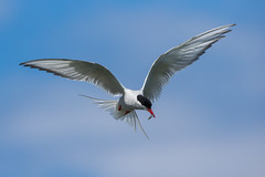 Artic Tern (Simon Stobart (back but busy)) Tags: tern flying artic hovering northeastengland fish bluesky