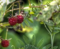 Ripe (Cindy's Here) Tags: raspberries berries bush wild billsoldamethystmine pearl ontario canada canon ansh scavenger7