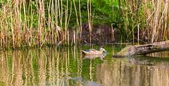 IMG_6680-Edit.jpg (johnchatt47) Tags: reflection birds chesterzoo animals upton england unitedkingdom gb