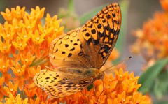 Close-up Beauty (eyriel) Tags: insect bug nature wildlife butterfly macro orange butterflyflower bokeh