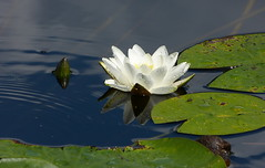 White water-lily - sunny version (joeke pieters) Tags: 1280256 panasonicdmcfz150 waterlelie nymphaeaalba waterlily seerose nnupharblanc warnsborn veluwe gelderland nederland netherlands holland bloem flower reflections ngc platinumheartaward