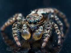 Look my eyes !!!!!!! (http://www.jeromlphotos.fr) Tags: saltique spider arraigne macro canon eos 5dmarkii 100mm 28 nature natural eyes look oeil regard