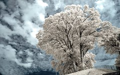 Arbre  la Citadelle de Namur (Yasmine Hens) Tags: tree ir europa flickr belgium ngc infrared arbre namur hens yasmine wallonie 720nm infrarouge world100f iamflickr flickrunitedaward hensyasmine