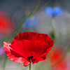 neighbours (ewaldmario) Tags: poppies cornflowers flowers summer macro closeup ewaldmario red blue blumen blumenmakro flower nikon micro nikkor sommer dof focus light glowing flaires soft blossom petals shining bright