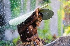 Yamurdan Korunan Kk Maymun (altaybilgin) Tags: animal photography hayvanlar fotoraflk
