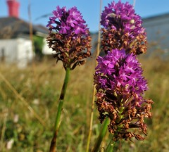 Pyramidal Orchid July (robbierunciman) Tags: orchid pyramidal dungeness flower wildflowers grassland kent kentcoast englishchannel roundhouse withering flowered seasonsend