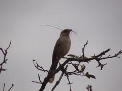 DSC04996 Sabi-Do-Campo (familiapratta) Tags: bird nature birds brasil iso100 sony natureza pssaro aves pssaros novaodessa novaodessasp hx100v dschx100v