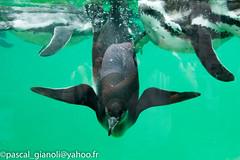DSC_2386 (Pascal Gianoli) Tags: beauval manchot penguin pingouin zoo zooparc saintaignansurcher centrevaldeloire france fr pascal gianoli pascalgianoli
