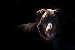 Is my dinner ready? (Joep Buijs Photography) Tags: dobermann dobernam eyes focus portrait
