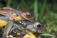 7I7A7335 (Abhishek T) Tags: twinspotted flying frog frogs amphibians nature wildlife macro animals