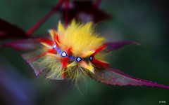 Sycamore moth caterpillar (gshaun12) Tags: caterpillar macro macrodreams nature fantasticnature trees wildlife bokeh upclose insects yellow fluffy furry acer art animals