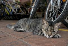 160716 - Laze (y_leong23) Tags: cat dlux