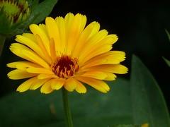 Gelb (dorisgoebel) Tags: blume blossom flower blte natur pflanze gelb yellow