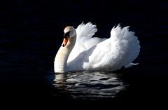 'Darkwave' (Jonathan Casey) Tags: swan d810 200mm f2 nikon vr