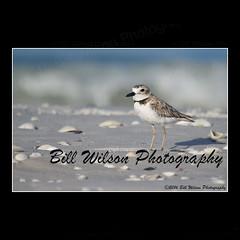 wilson's plover (wildlifephotonj) Tags: wilsonsplover wilsonsplovers wildlifephotography wildlife nature naturephotography wildlifephotos naturephotos natureprints birds bird beachbirds florida