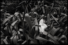 30th of April 2016 (Paul of Congleton) Tags: diary april 2016 garden daffodil spring monochrome blackandwhite digital sony rx100 narcissus