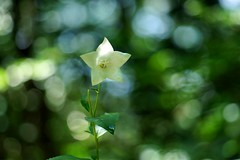 ()/Specularia perfoliata (nobuflickr) Tags: 20160720dsc04636   speculariaperfoliata triodanisperfoliata  venusslookingglass japan flower kyoto the botanical garden nature    awesomeblossoms