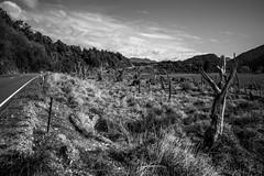 Aotearoa VIII (vince_veg3) Tags: newzealand monochrome blackandwhite landscape dry trees dead