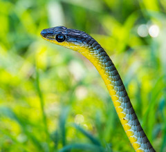 D4S_9093 (brc.photography) Tags: bce d4s nature saturday snake wongi duckinwilla queensland australia au