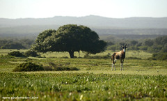 Bontebok (Damaliscus pygargus) - www.paolomeroni.com (paolo_meroni (www.paolomeroni.com)) Tags: bontebok wwwpaolomeronicom damaliscus pygargus wild wildlifephotography wildlife wildschwein southafrica dehoopnaturereserve sudafrica nikon nikonflickraward ngc iucn sigma150500 ambientata antilope tre grass mountains travel landscape