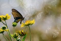 Diaphanous (brev99) Tags: tamron70300vc d7100 butterfly yellow yellowflowers bokeh background dxooptics11 nikviveza highqualityanimals ngc