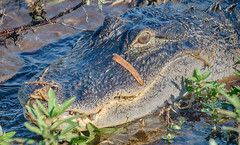 An unwelcome visitor waiting to come aboard (Andy J Newman) Tags: florida everglades alligator gator teeth menace menacing danger dangerouss standoff eyes nikon d7100 hdr hdrefex airboat
