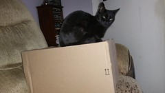 Not only do cats sit on boxes......... they also sit on them. Before you've had a chance to open it......!! (julzz2) Tags: catlovers blackcatsfaces funnycats pussycats mycats cutecats catsfaces blackcats felinefaces felines pets animals