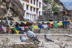 Sur la trace de Naropa... (In Explore) (Dolkar-photographe...) Tags: inde bouddhisme karsha paldar paysage trek zanskar t2016 naropa dzongkul monastre explore explored pigeon oiseau bird premier plan