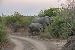 Zambia_LionCamp_311_elephant (atkiteach) Tags: zambia southluangwanationalpark southluangwa safari safaricamp camp nature naturereserve holiday rural africa lioncamp elephant elephants elephantcalf elephantsuckling suckling calf