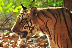 DSC_2955 (ajwhitehead1979) Tags: bengaltiger bhandavgarh india royalbengaltiger tiger