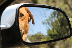 Taking a drive through the woods (Brown Acres Mark) Tags: best friend dog