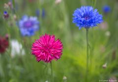 Cornflowers [Explore #96 ] (Eiona R.) Tags: explore swanseabotanicgardenssingleton singleton wfc cornflowers botanicsinbloom2016