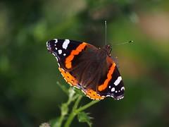 Admiral posing 1 (michaelmueller410) Tags: harz osterode pflanzen wald schmetterling butterfly insekt insect falter tagfalter edelfalter sommer august eipenke